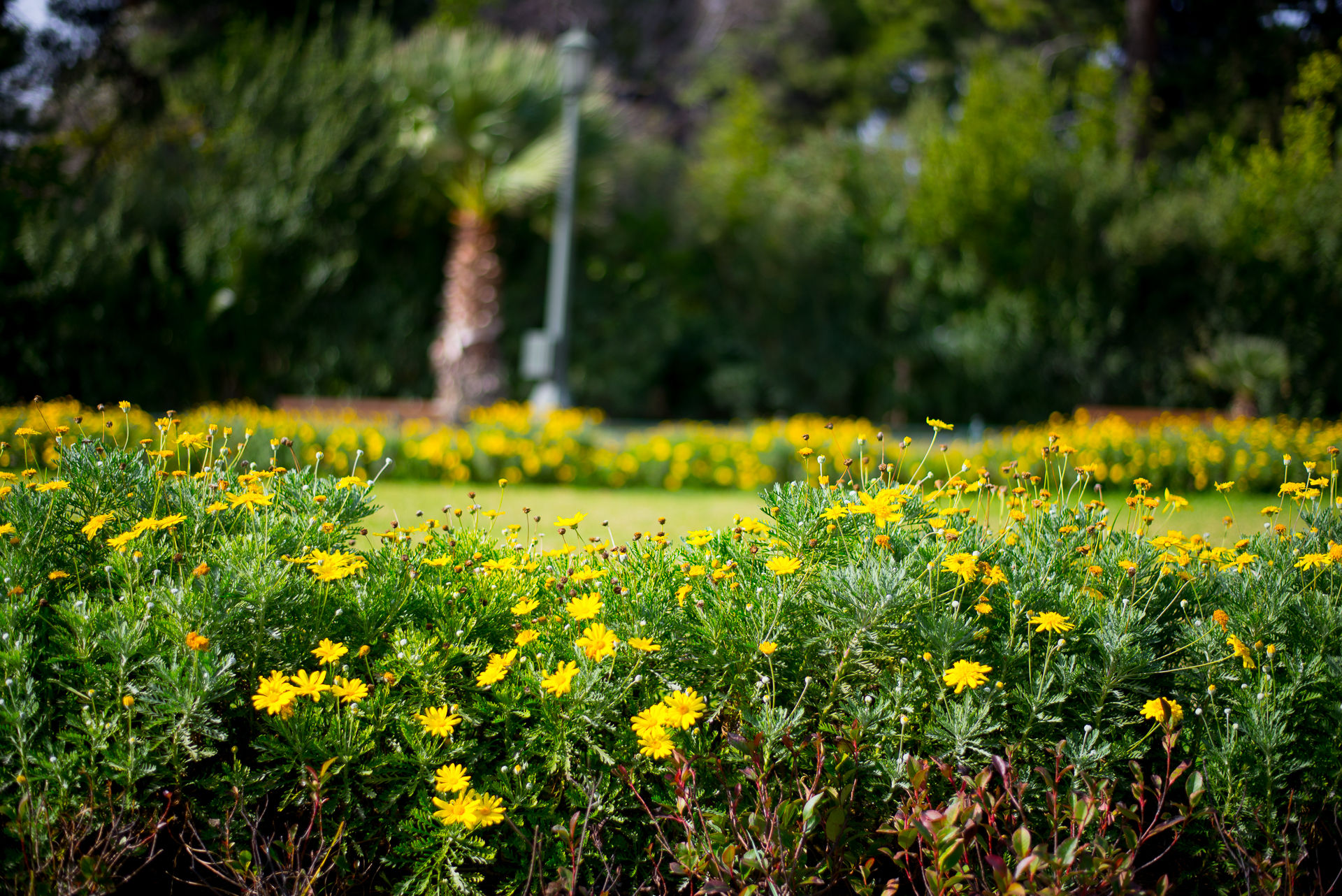 Yellow flowers in the National Garden of Athens