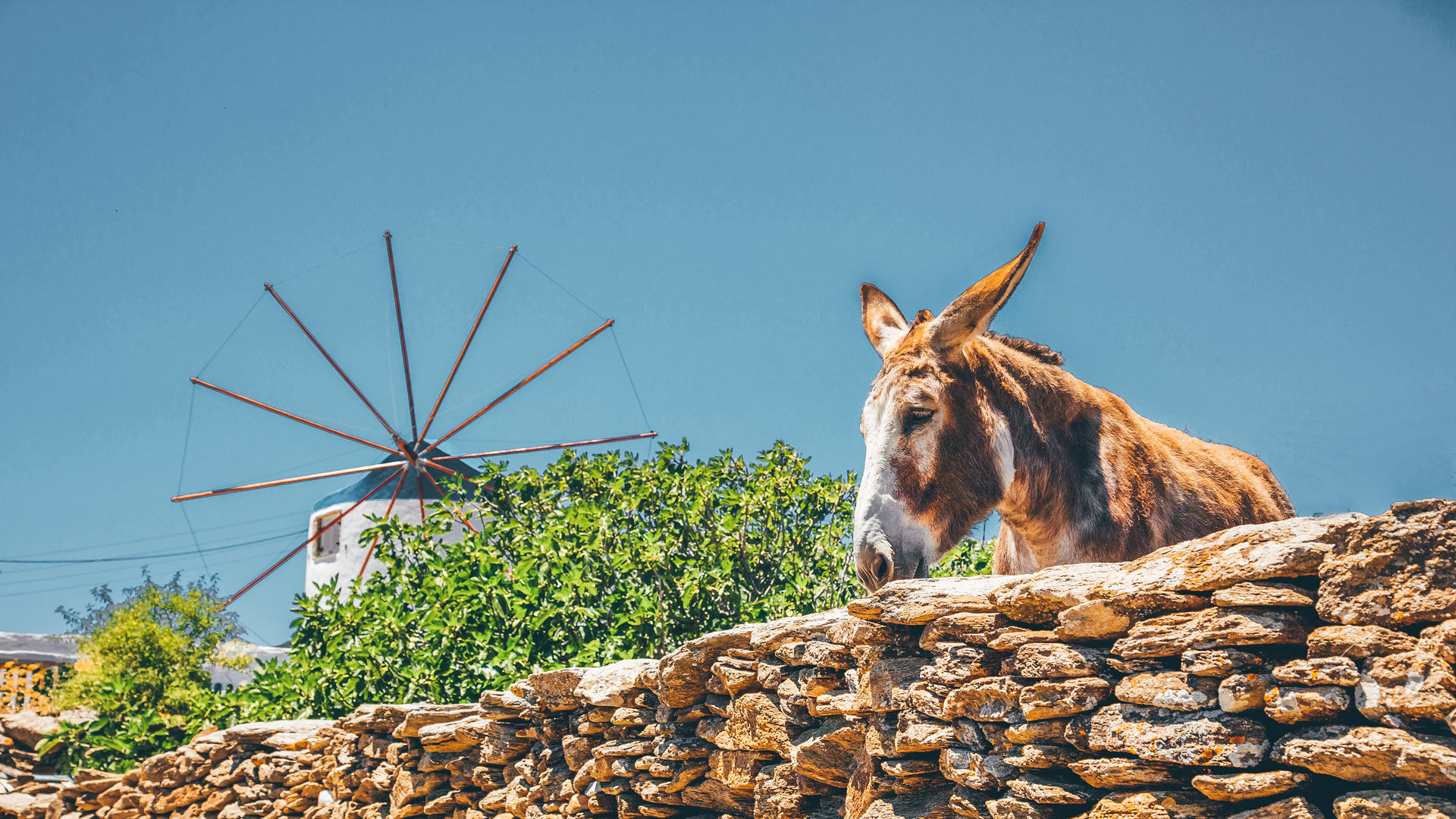 Cute donkey posing near Sifnos windmill that dates back to the mid 18th century, close to Artemonas village