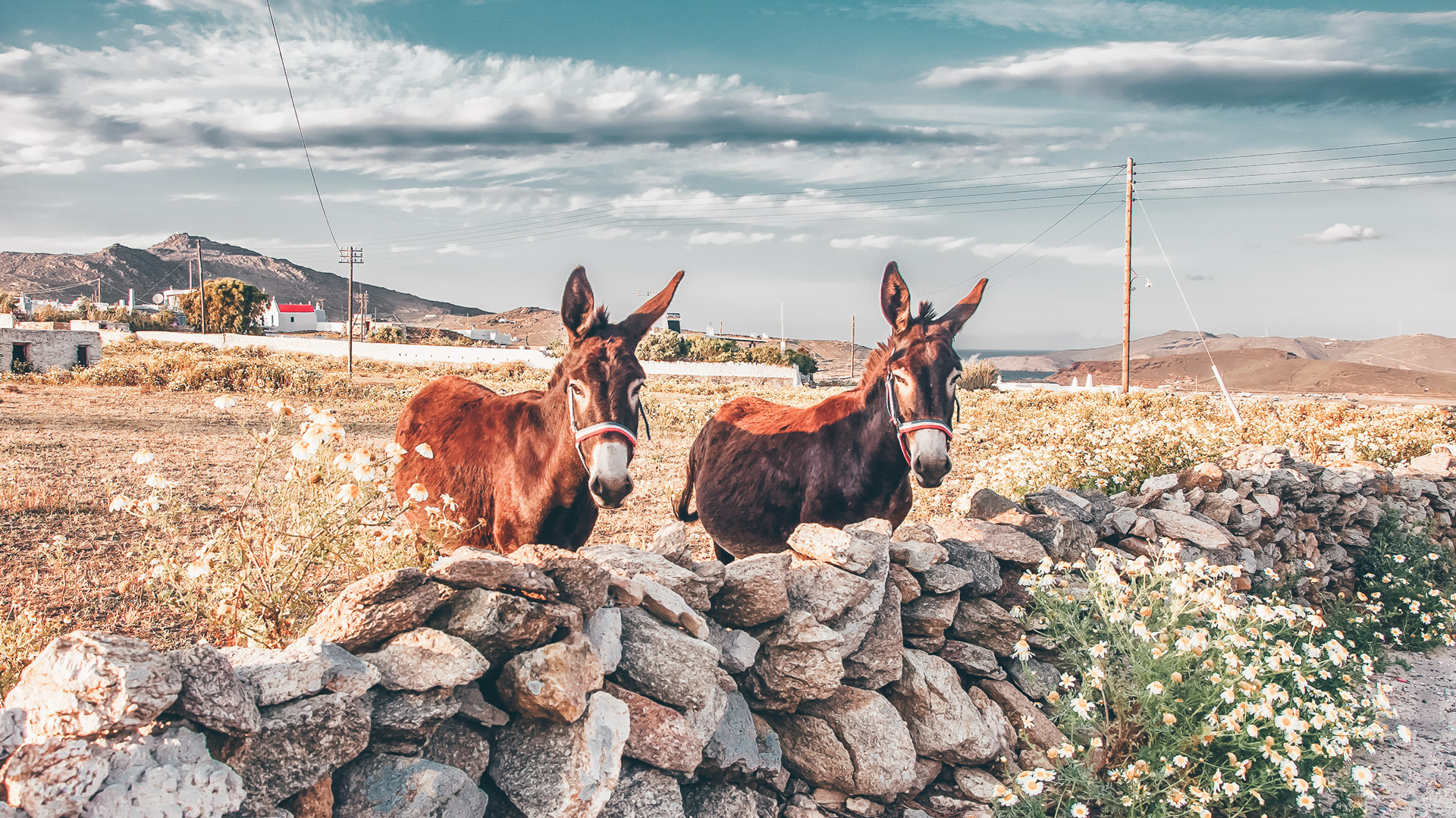 Two donkeys on the field with wildflowers, Mykonos