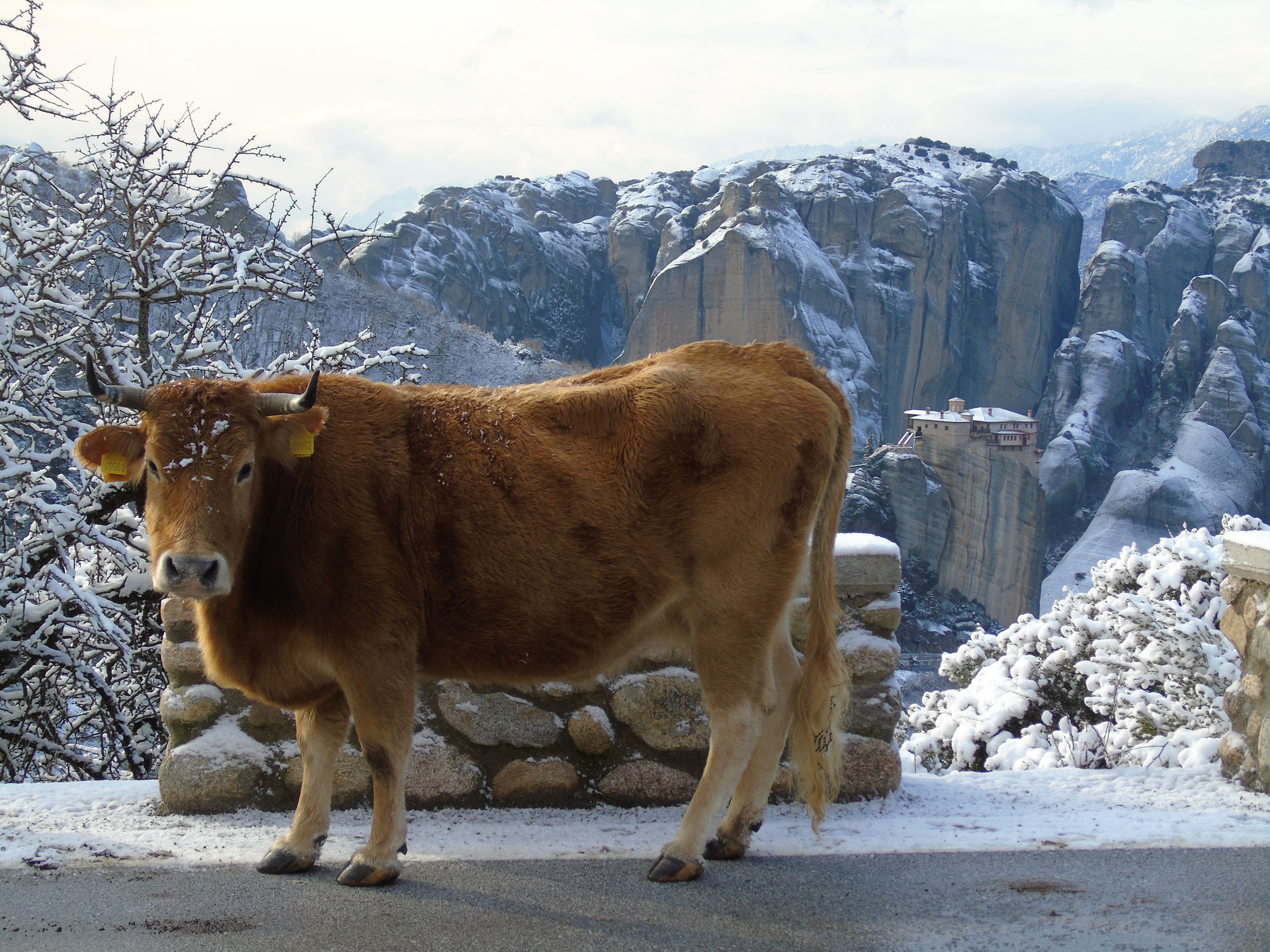 A cow on snow covered Meteora