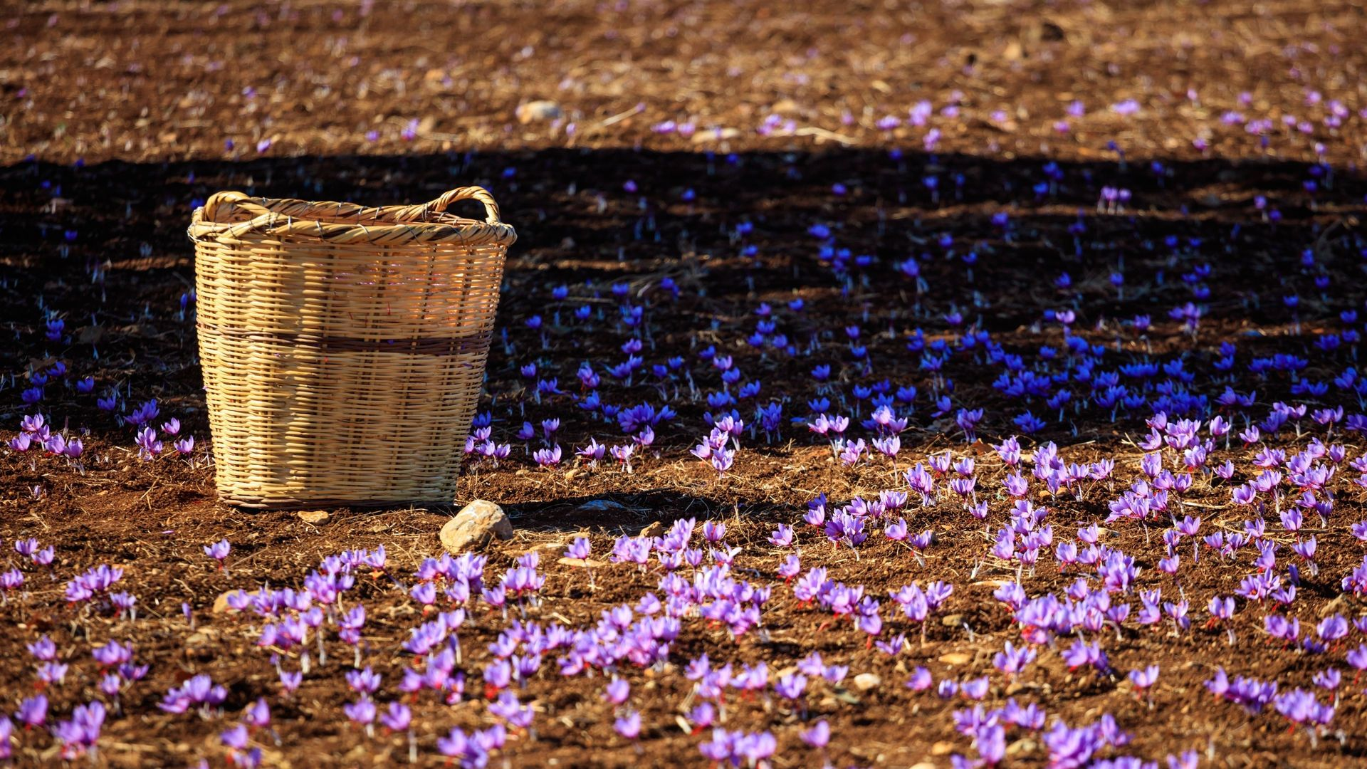 A wicker basket on a saffron field at harvest time, Kozani
