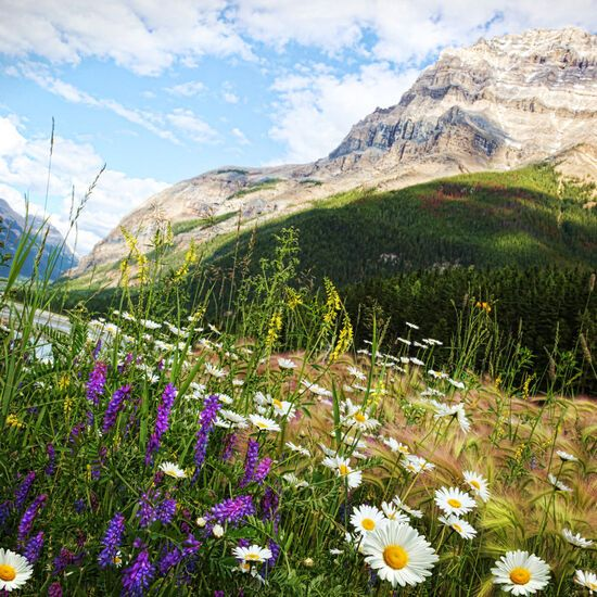 Field of daisies and wildflowers with rocky mountains in the background