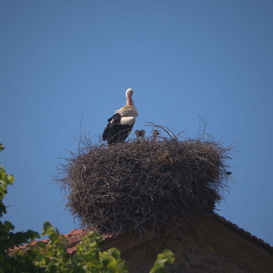 White stork and young in nest at Skala Kalloni on island of Lesvos