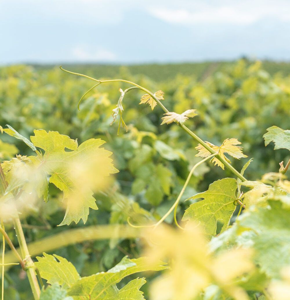 Rolling down hillsides and meandering through valleys, the vineyards of today are interwoven into the Heraklion landscape