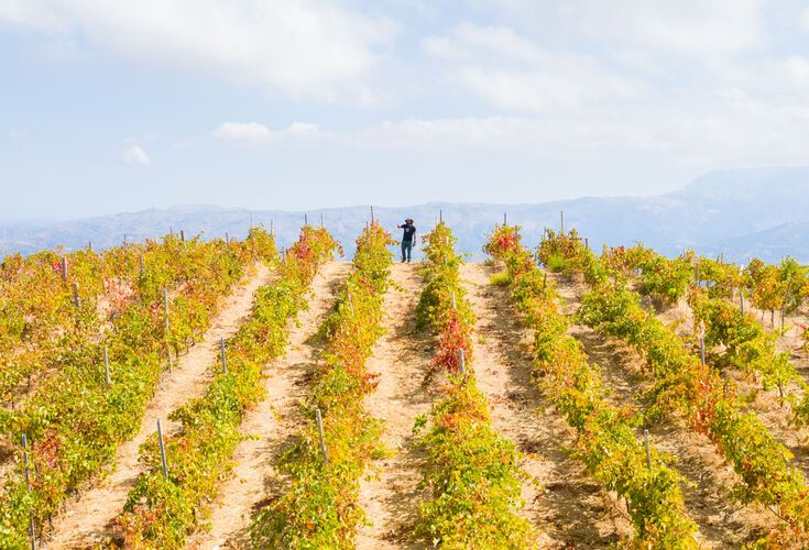Vineyards in Chania